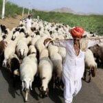 अविका कवच योजना | Sheep Insurance Scheme Rajasthan |